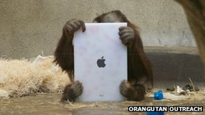 Orangutans learning to use iPads